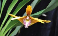 Maxillaria Orchid Flower for Customizing Desktop Wallpaper