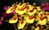 Oncidium orchids Picture in 4K