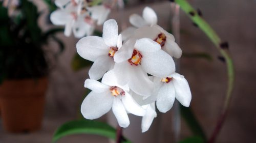 Picture of natural Sarcochilus orchids in HD Quality
