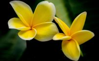 Yellow Plumeria Picture in Close Up for Wallpaper
