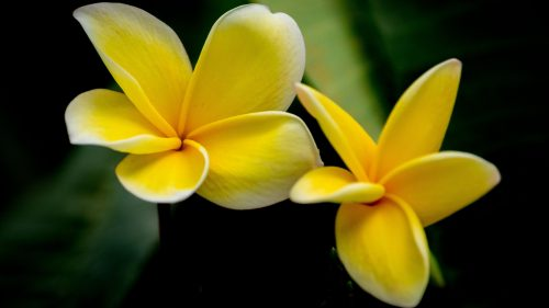 Yellow Plumeria Picture in Close Up