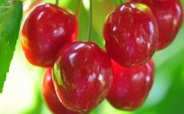 Picture of cherries in close up for wallpaper in HD