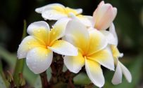 High Resolution Picture of Plumeria Flower in Close Up
