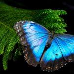 High Resolution Morpho Butterfly Wallpaper for Desktop Background