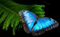 High Resolution Morpho Butterfly Wallpaper for Desktop Background