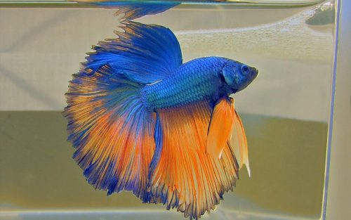Blue and Orange Halfmoon Betta Fish Picture for Wallpaper in High Resolution