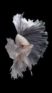free wallpaper for iphone 7 - Albino Betta Fish Picture (13)