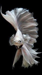 Free Wallpaper for iPhone 7 with Albino Betta Fish Picture (16)