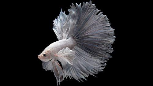 Albino Betta Fish Picture (2)