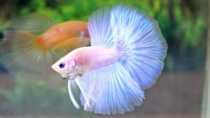 Albino Betta Fish Picture (3)
