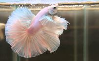 Albino Betta Fish Picture (5)