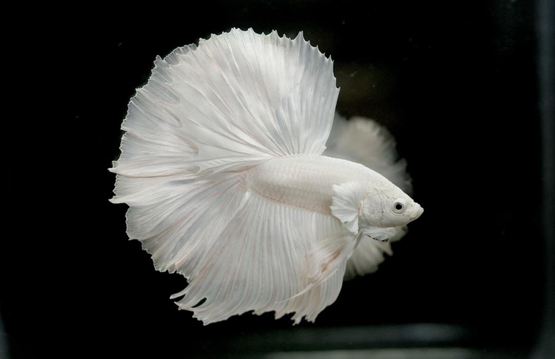 Albino Betta Fish Picture 8 of 20 - Solid White Halfmoon ...