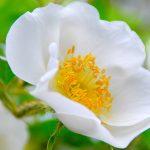 Cherokee Rose Flower for Desktop Background