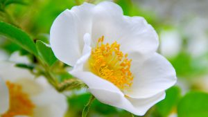 Cherokee Rose Flower for Desktop Background