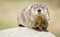 Picture of Cute Groundhog in Nature for Groundhog Day Wallpaper