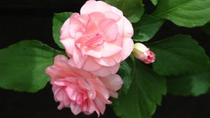 Double Impatiens - Flowers That Look Like Roses