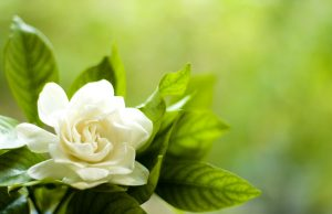 Flowers that look like roses - Gardenia Flower