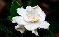 Flowers that look like roses - White Gardenia Flower