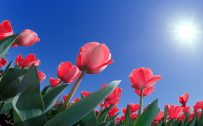 Pics Of Tulips Flowers