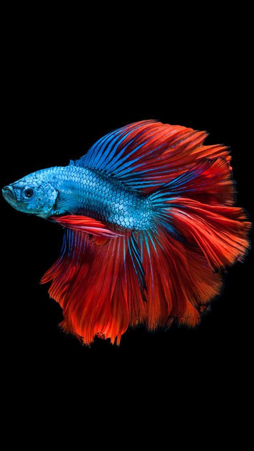 Apple iPhone 6s Wallpaper with Blue Betta Fish in Dark Background