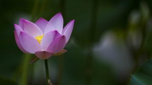 Beautiful Lotus Flowers Wallpapers in HD