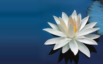Nature Wallpaper with Beautiful White Lotus Flower