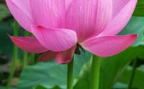 OnePlus 5 Wallpaper with Lotus Flower Background
