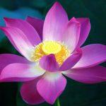 Purple Lotus Flower Wallpaper in HD 1080p
