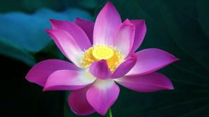 Purple Lotus Flower Wallpaper in HD 1080p
