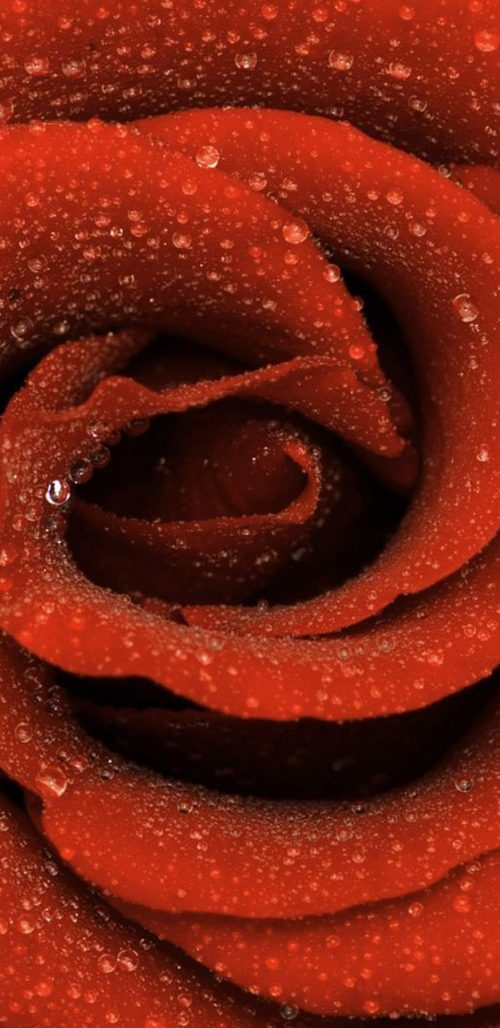 Samsung Galaxy S8 Wallpaper Download with Close Up Rose Flower