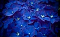 File attachment for Blue Flowers Wallpaper with Hortensia in High Resolution