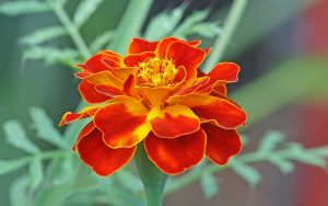 Flowers That Look Like Roses with French Marigold