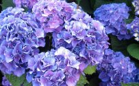 File attachment for Lush Blue Hydrangeas flower wallpaper in high resolution