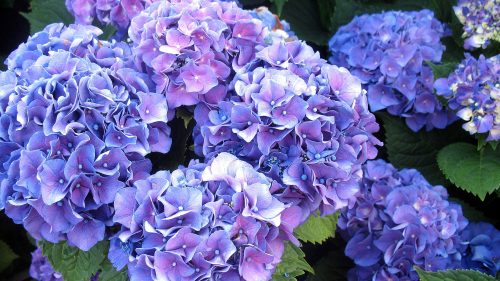Flower wallpaper lush blue hydrangea in high resolution for Ortensie significato