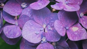 Picture Of Wet Hydrangea Flower in Close Up