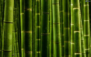 Pictures Of Bamboo Plants in Close Up