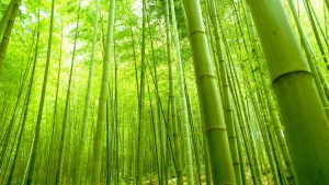 Pictures Of Bamboo Trees in China