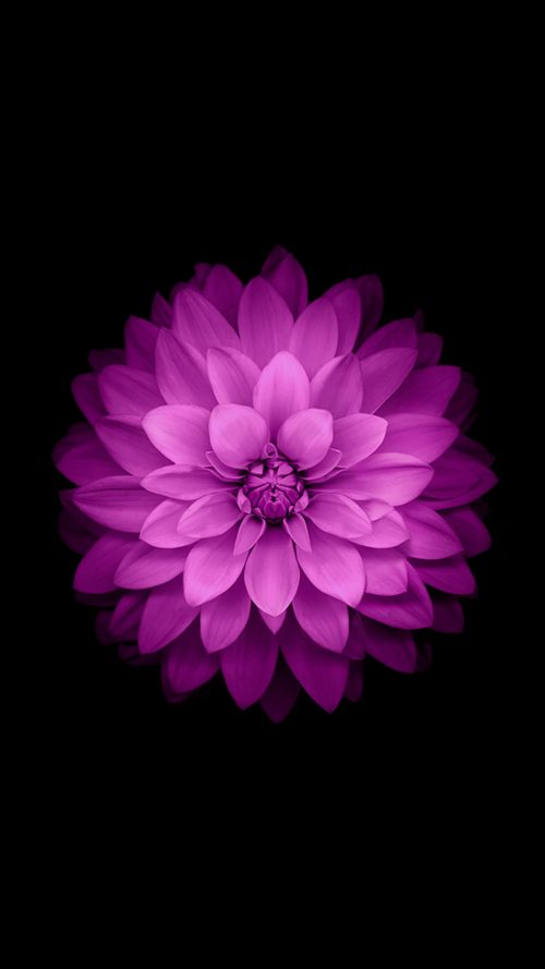 iPhone 6 Plus Wallpaper Official - Purple Lotus Flower