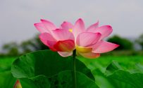 4K Nature Wallpaper with Beautiful Lotus Flower Picture