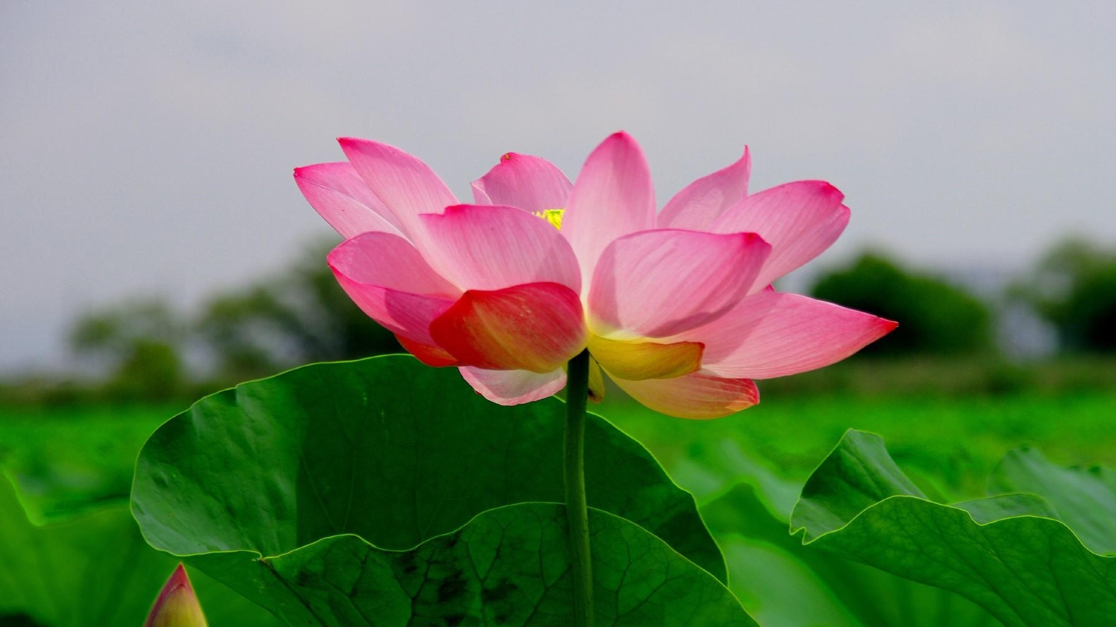 4K Nature Wallpaper with Beautiful Lotus Flower Picture ...