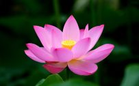Artistic Lotus Flower Wallpaper in High Resolution
