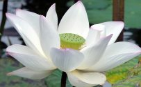 Close Up Photo of White Lotus Flower for Wallpaper