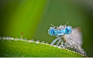 Attachment for Macro Photography of Blue Dragonfly with Water Drops