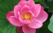 HD Close Up Picture of Pink Lotus Flower for Desktop Background