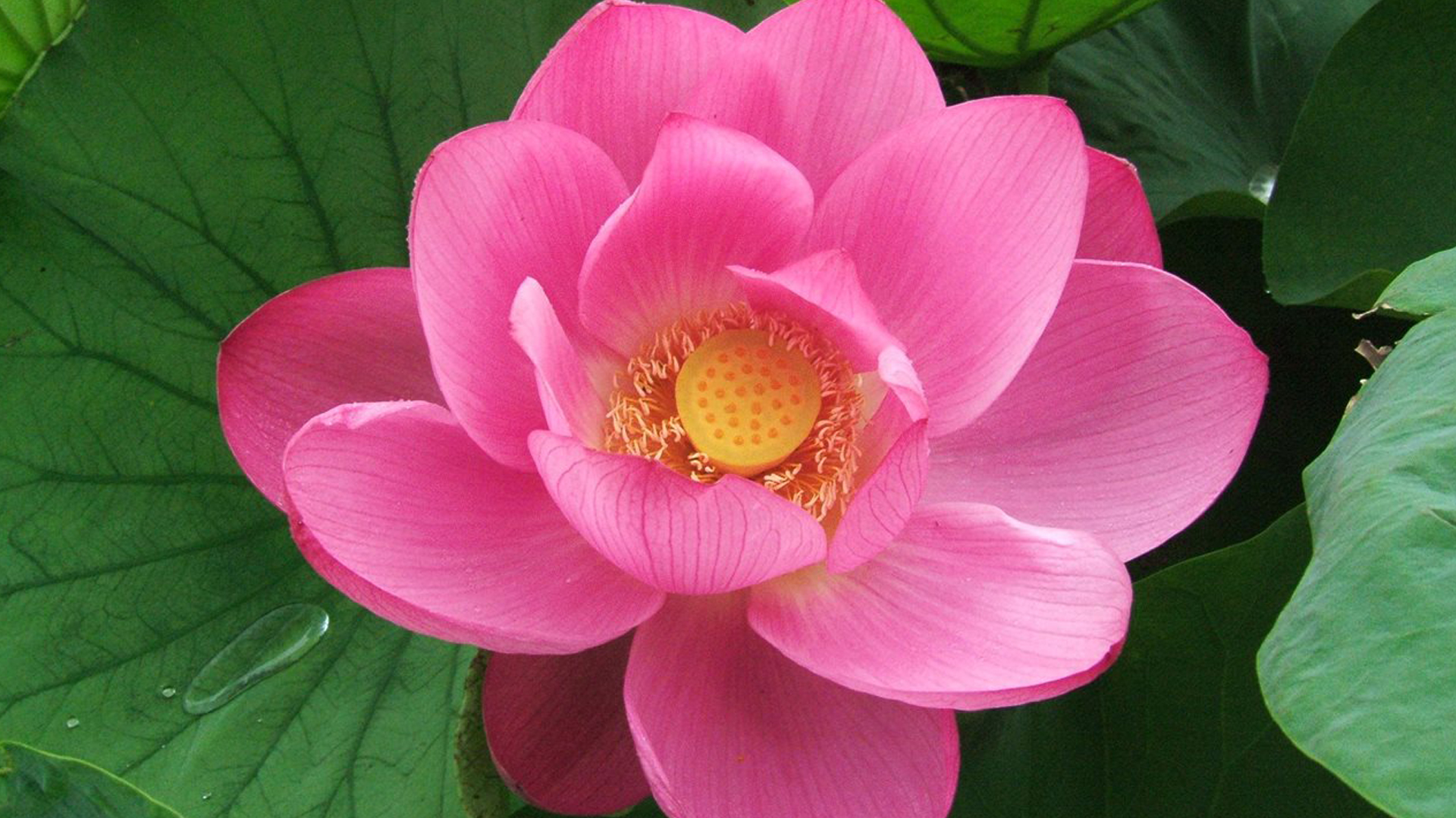 HD Close Up Picture Of Pink Lotus Flower For Desktop