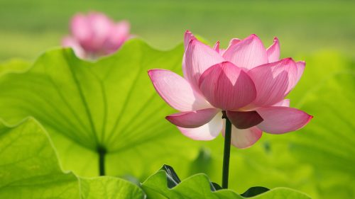 HD Wallpaper with Pink Lotus Flower in Green Background