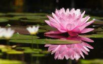 Lotus Flower Wallpaper in 4K for Desktop Background