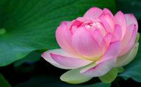 Macro Photo of Lotus Flower for Wallpaper in HD