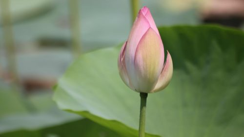 Picture of Ready to Bloom Lotus Flower for Wallpaper