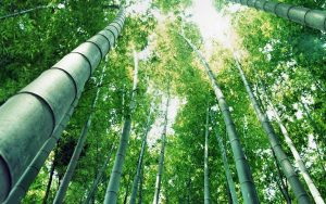 Beautiful Nature Wallpaper Big Size #07 with Japanese Bamboo Tree